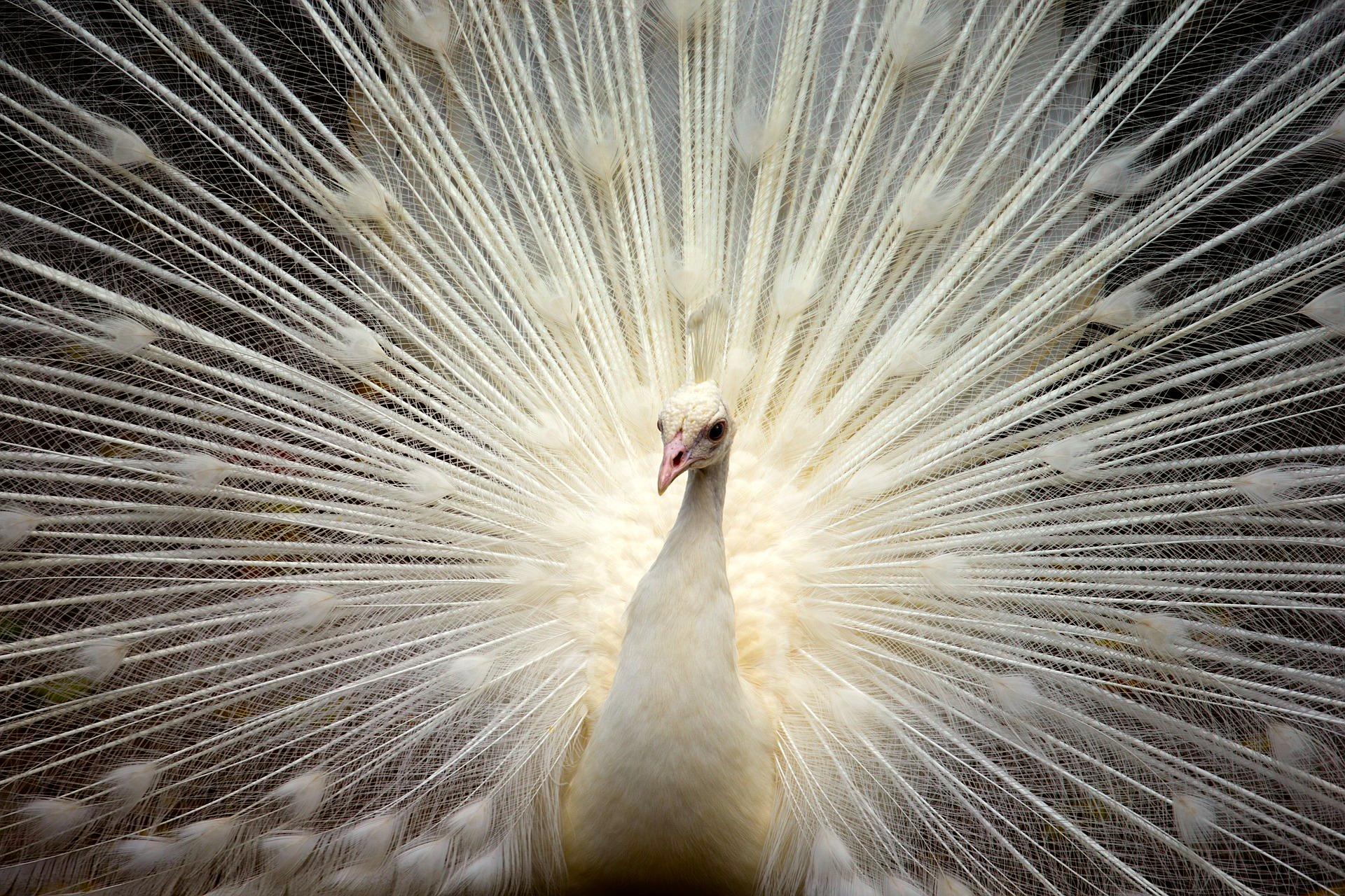 White golden Peacock
